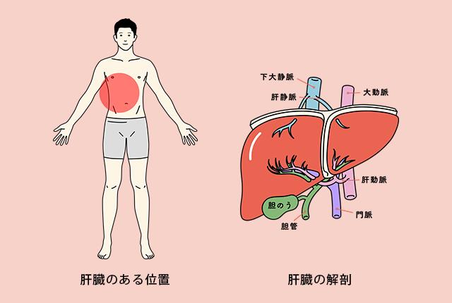 肝臓の役割とは
