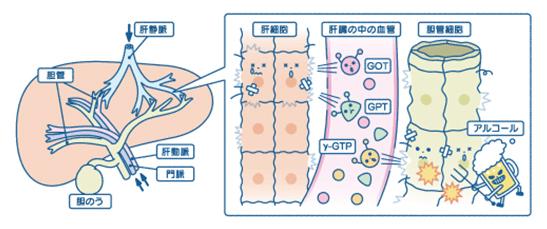 肝臓の細胞・血管内の動き